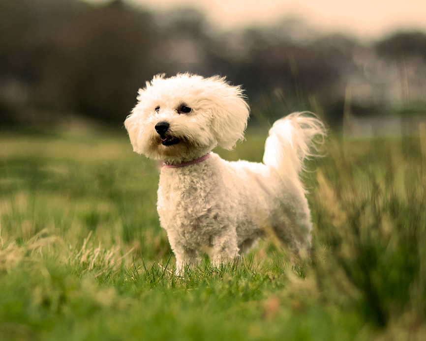 white dog outside pet photography Greater Manchester