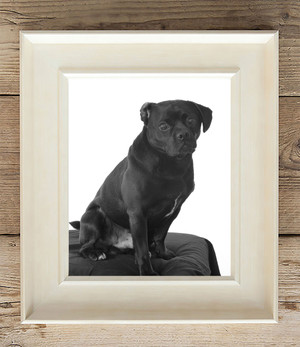 black dog on white background pet portraits Greater Manchester