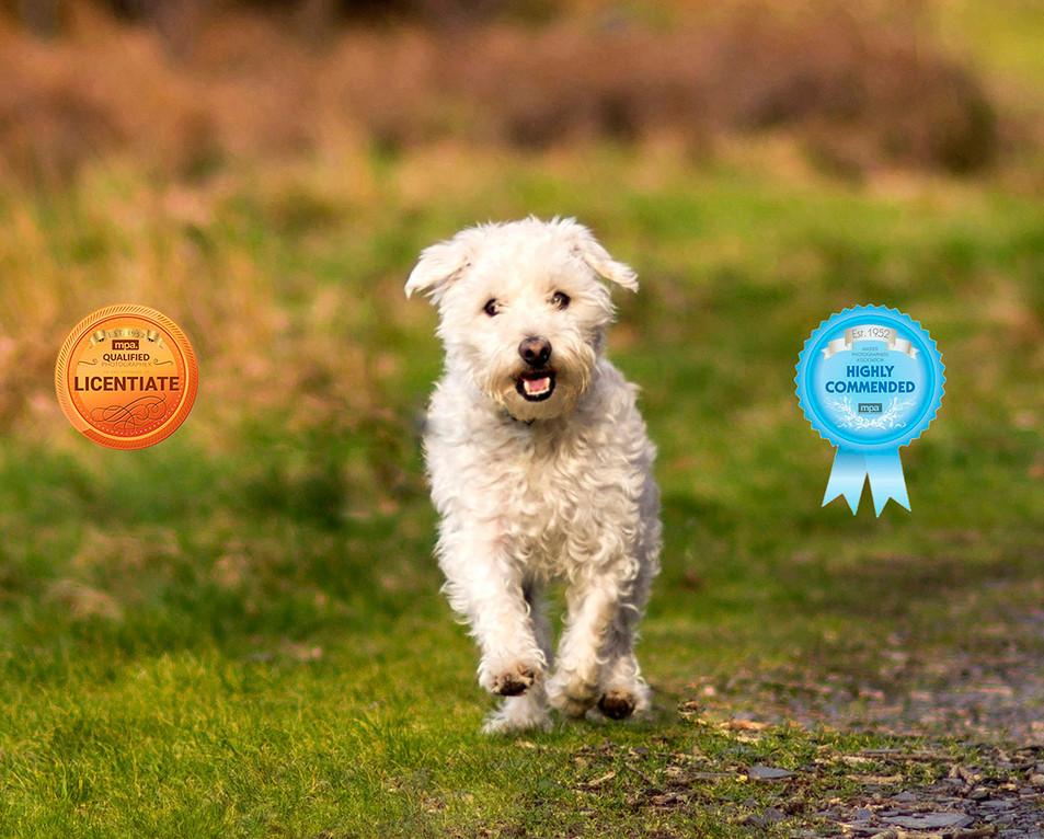 white dog running outside dog photography Lancashire