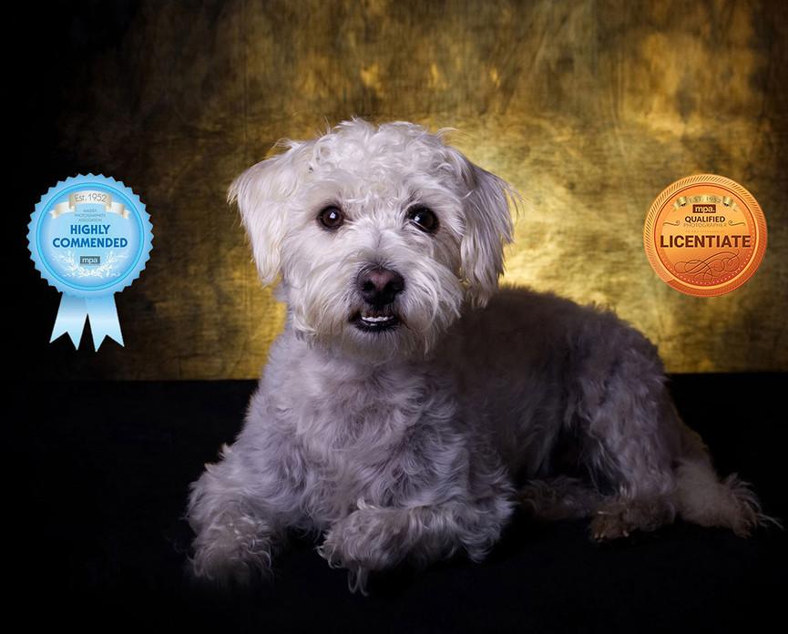 white dog on gold background Lancashire Pet Photography