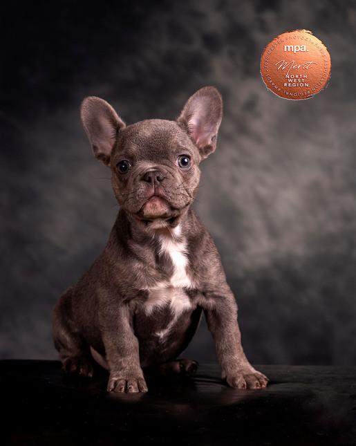 Award winning photo dog photographer Lancashire. Dog sitting with grey background. Ambience Images.