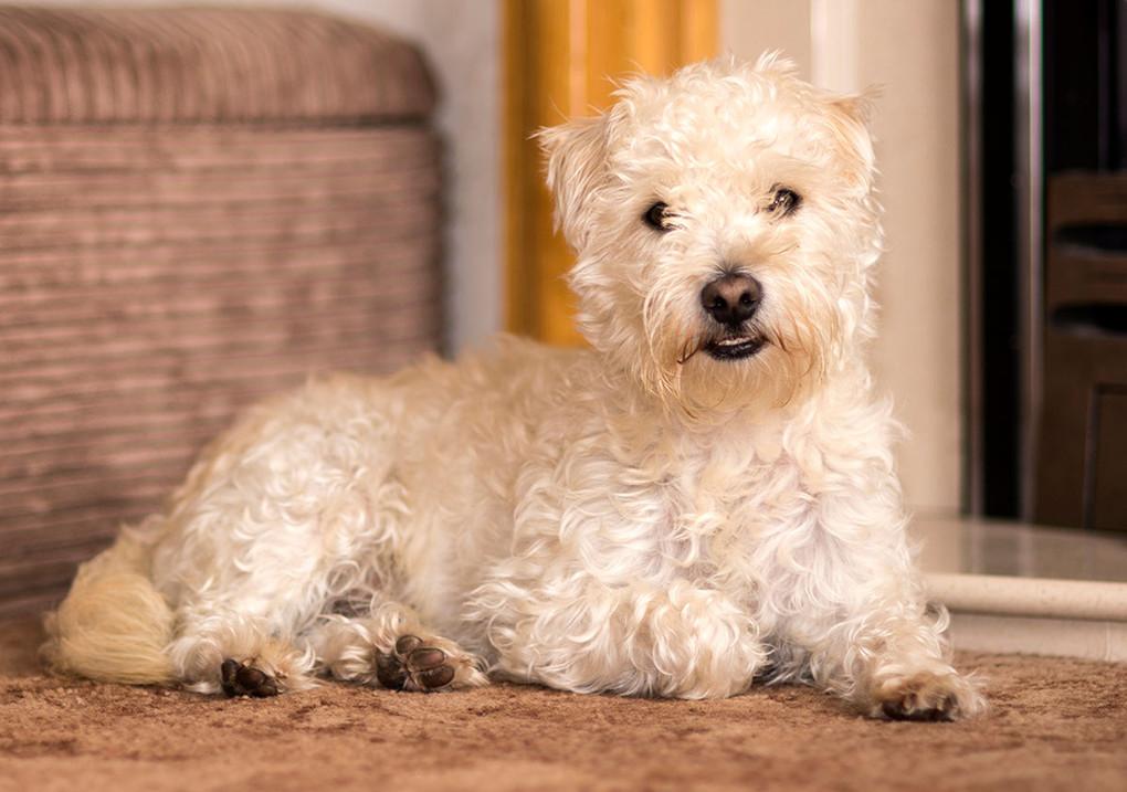 white dog lying down inside pet photo Lancashire Ambience Images