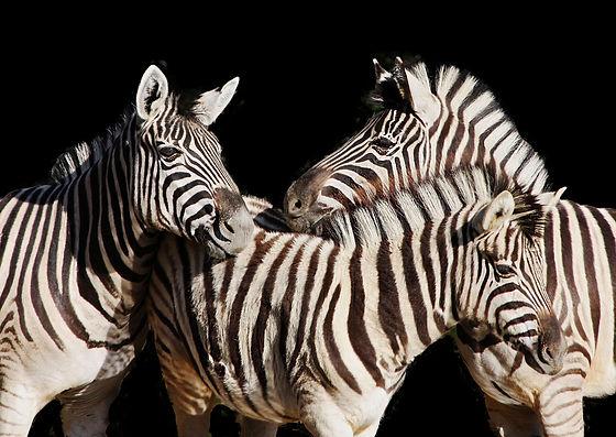 Zebras+1.jpg