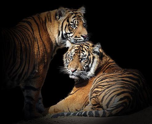Tiger%201M4Z5210.jpg