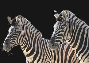 Zebra%202%20AW.jpg
