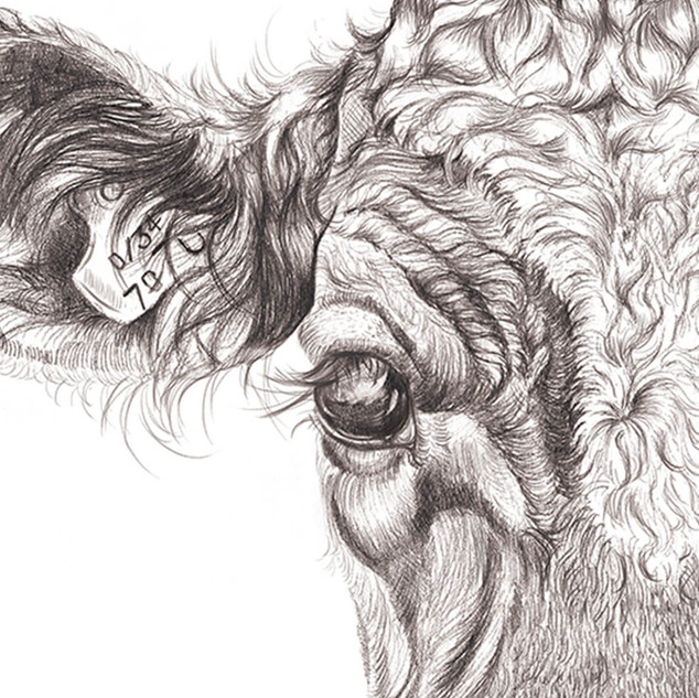 Detailed cow drawing (for sale in prints)