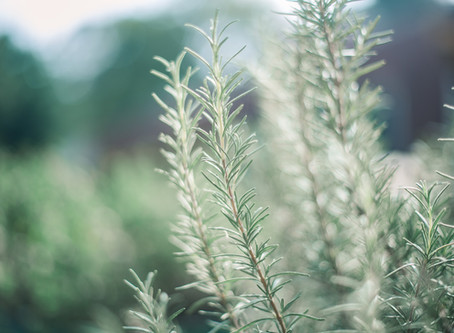 October Focus - Rosemary