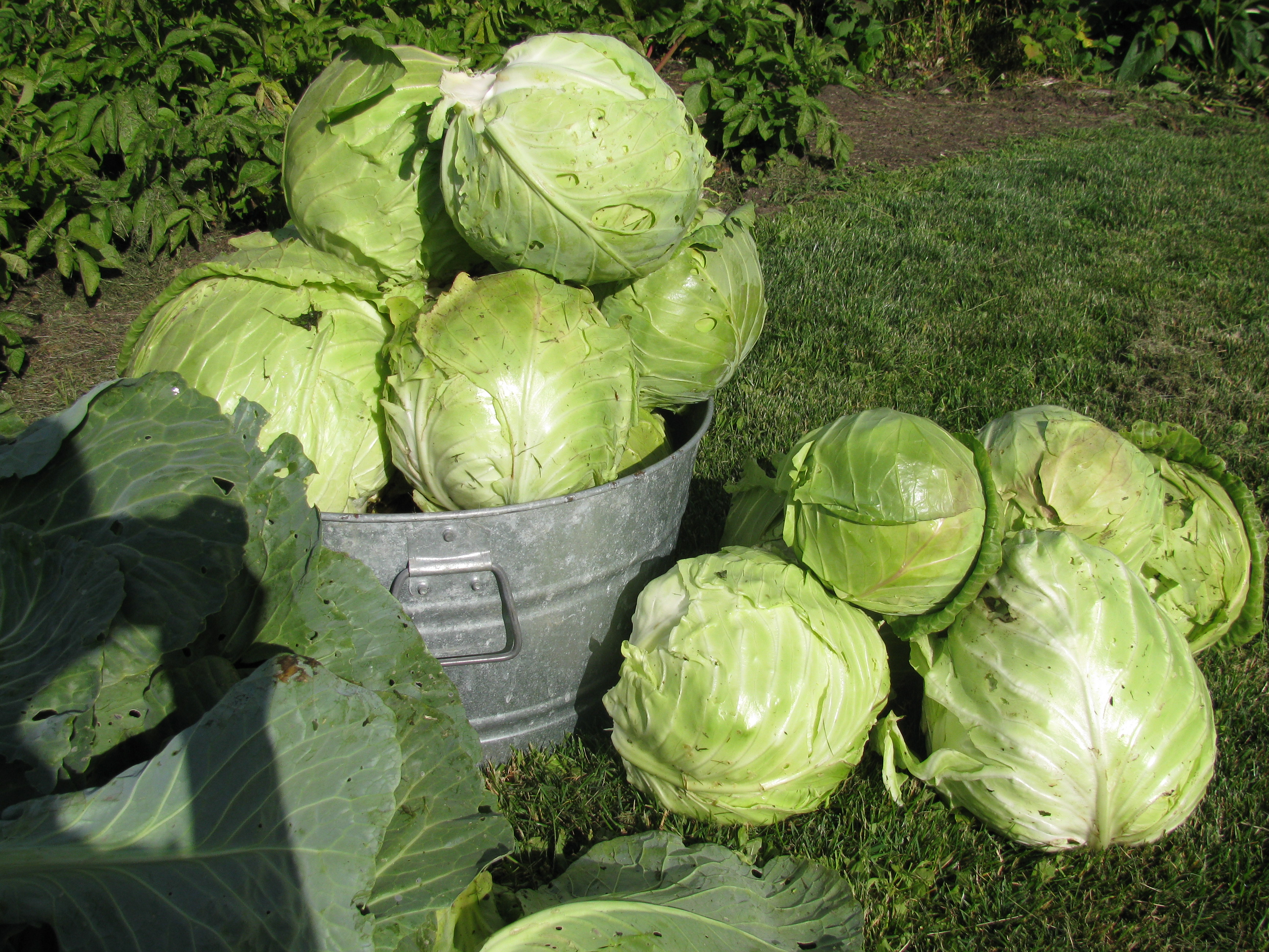 Beautiful cabbages!