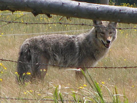 A coyote stands in a field, peering throug a fence