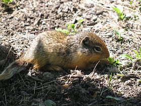 A close up shot of a Columbian ground squirrel in a garden