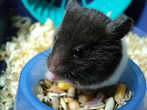 hamster-eating-in-cage.jpg