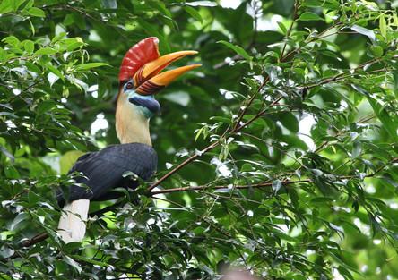 Red-knobbed Hornbill (Rhyticeros cassidi