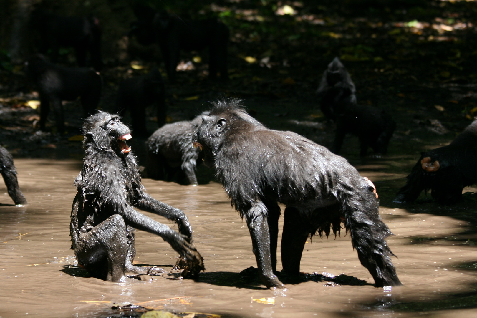Jung crested macaques playing in the river