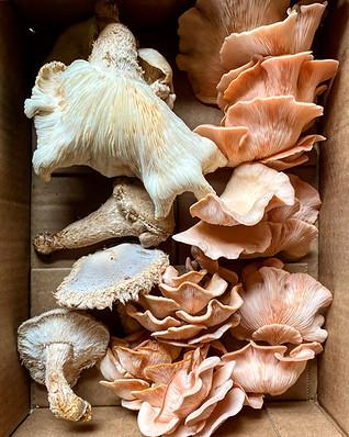 FellowFungi Oyster Mushrooms in a box.jp