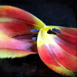 """""""What Your Mother Forgot to Tell You About Tulips"""" Fine art photography available for sale. By local"""
