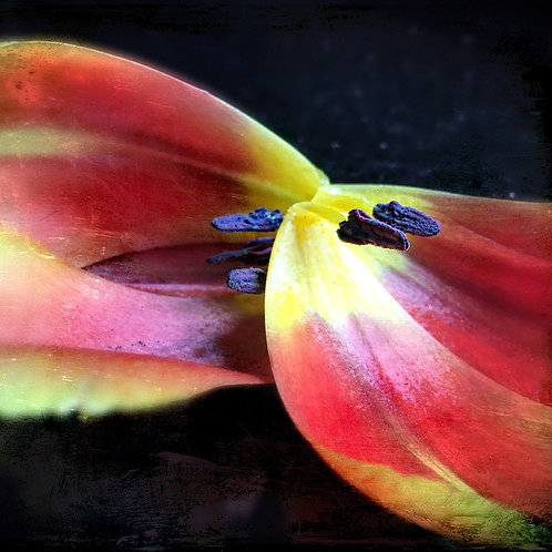 What Your Mother Forgot to Tell You About Tulips