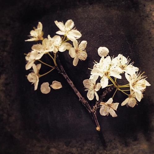 Dream of Cherry Blossoms