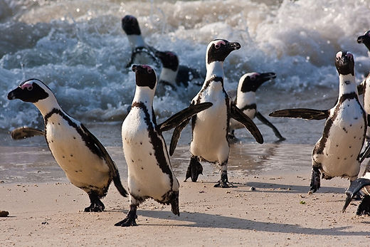 Boulders Penguins running.jpg