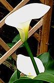 Arum lily.jpg