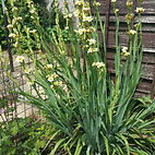sisyrinchium-striatum-aunt-may.jpg