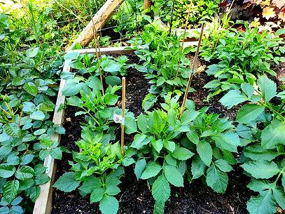 Dahlias planted out.jpg