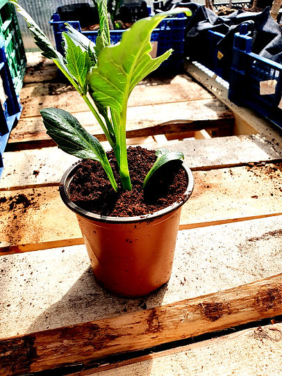 Dahlia Cutting Potted up.jpg