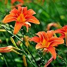daylilies.jpg