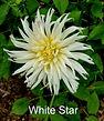 White Star.jpg