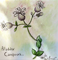 Bladder Campion Tile.jpg