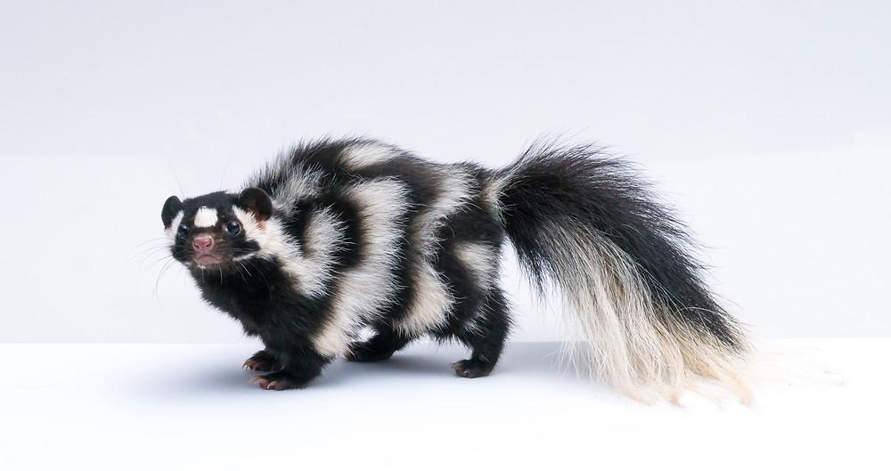 Black and white skunk on white background
