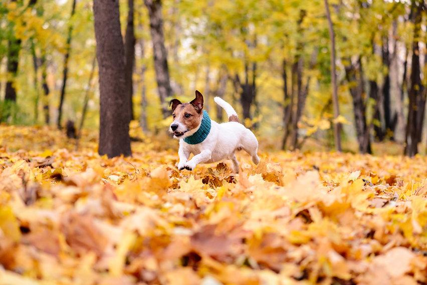 Fall Dog Leaves stock photo.jpg