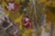 Wild Tulip            detail.JPG