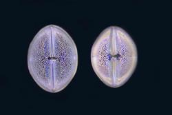 Diatoms Long 1