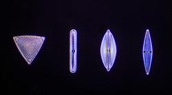 Diatoms 3