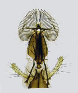 Blowfly Proboscis Large 1