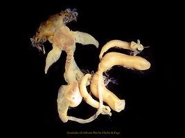Bee Genitalia from Antique Microscope Slide