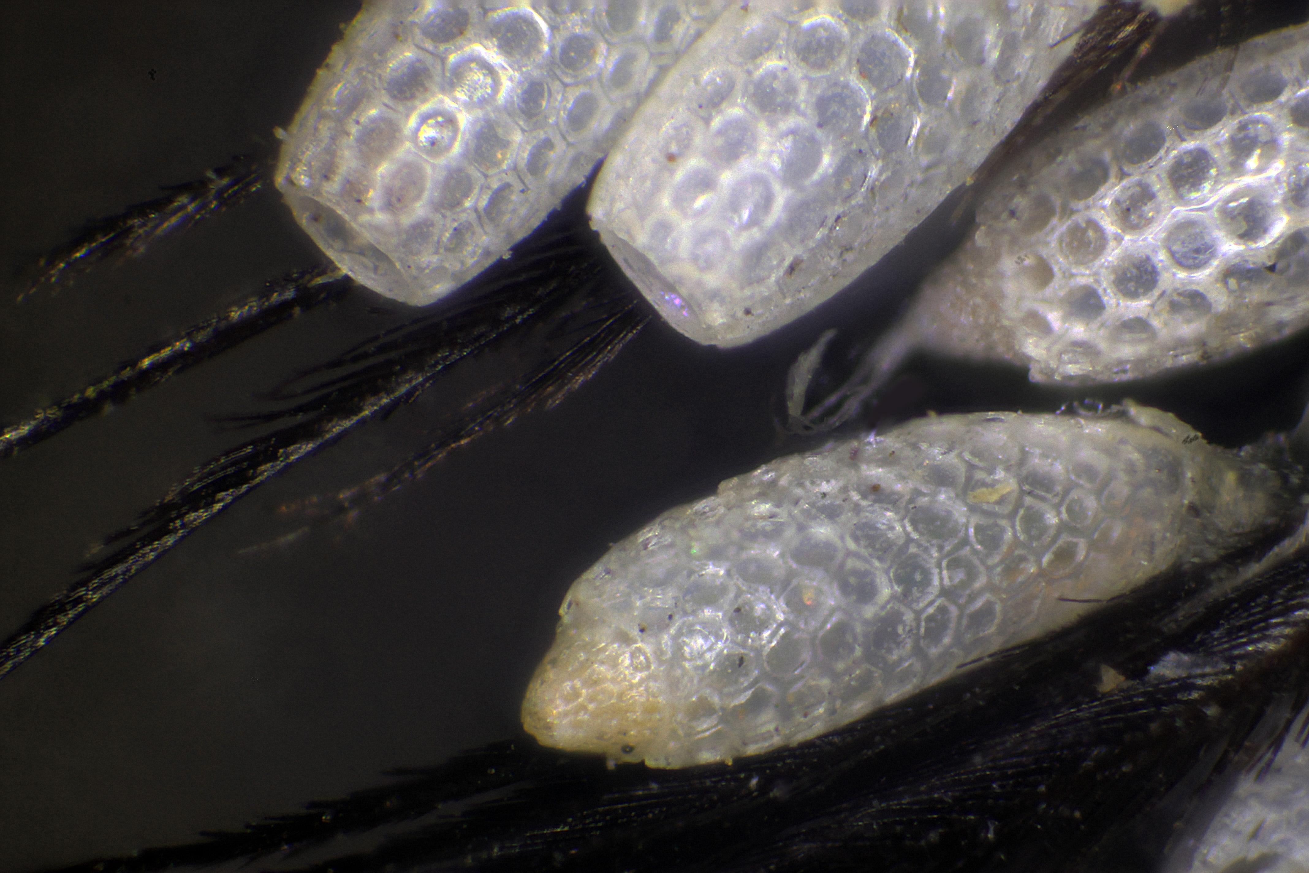 Eggs Parasite Willets Pheasant 1