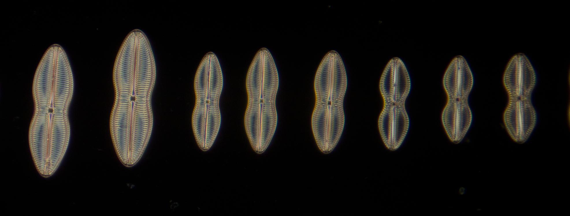 Diatoms from Nagasaki J.A.Long