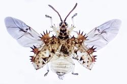 Tortoise Beetle 2.jpg