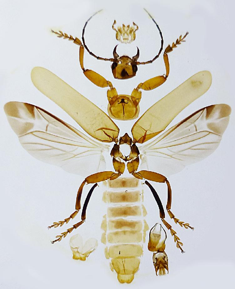 Soldier Beetle anatomy Enock.jpg