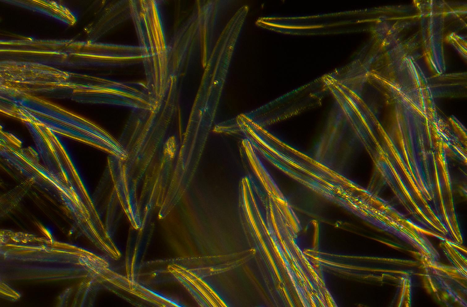 Antique Microscopes diatoms 1.jpg