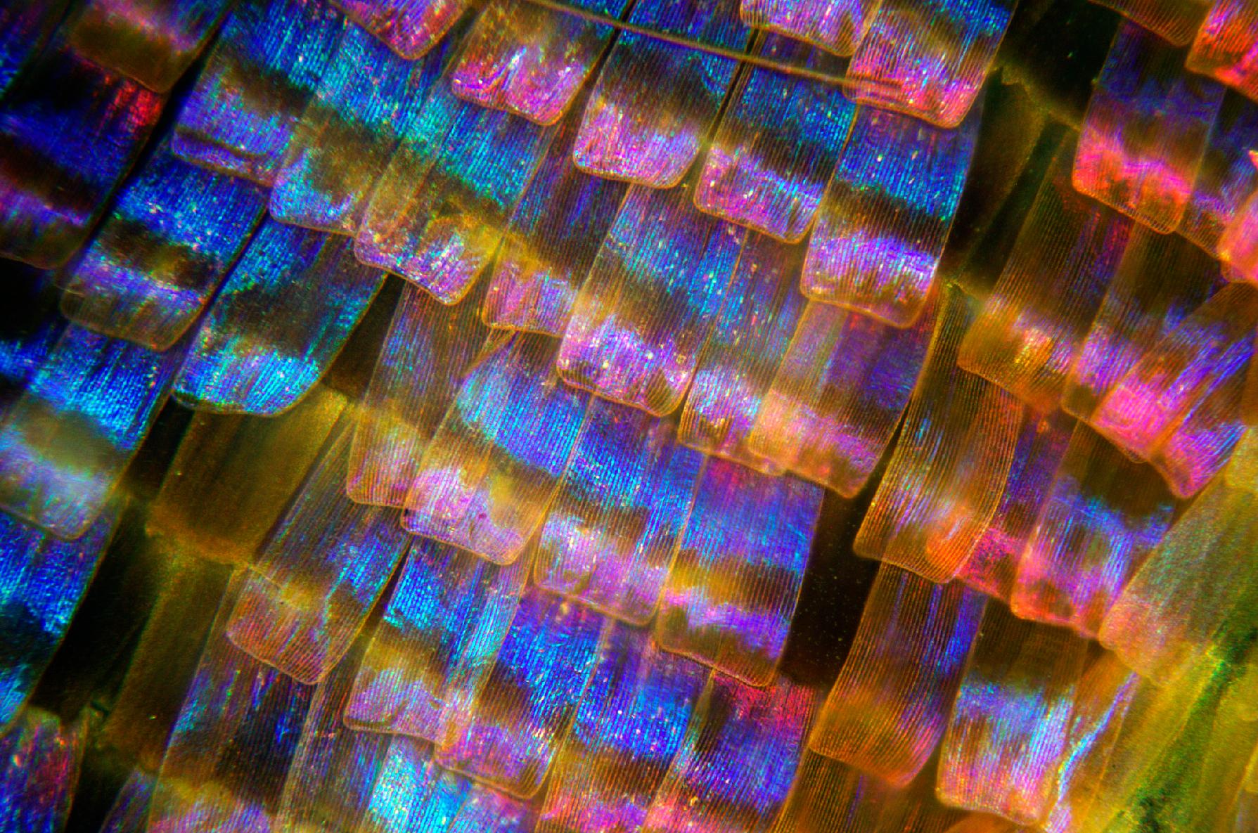 Butterfly Scales Urania Fernandinae Norman