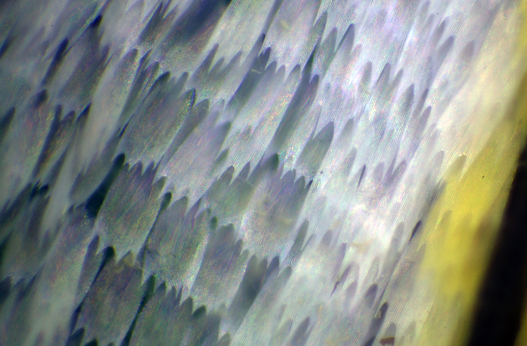 BUTTERFLY SCALES 4