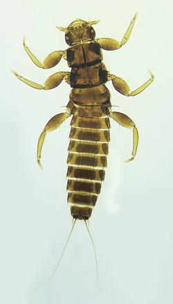 Enock Wild Bee Parasite 1
