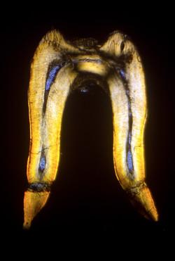 Fossil Fish tooth Cramlington Colliery 1867_edited.jpg