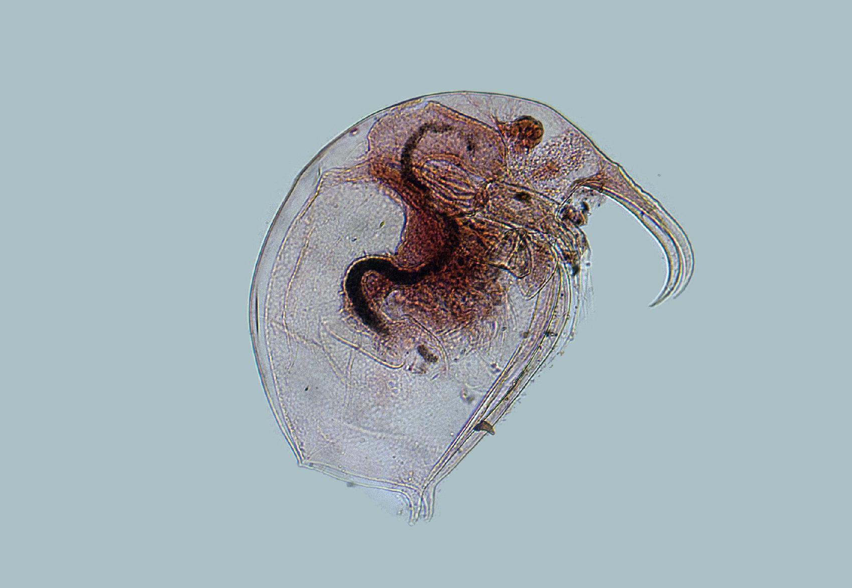 Elephant water flea