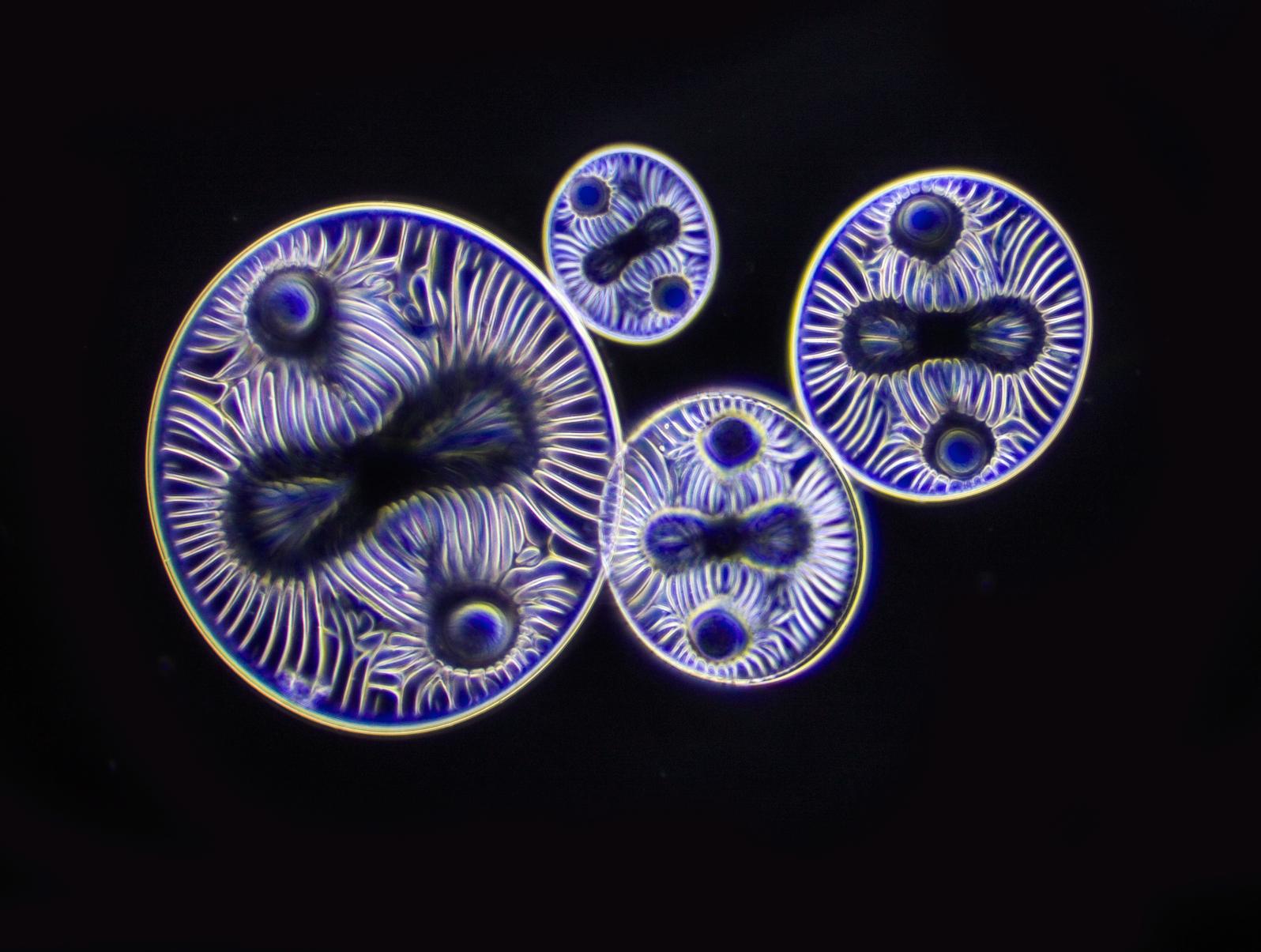 Diatoms 2