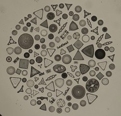 Firth diatoms 3.jpg