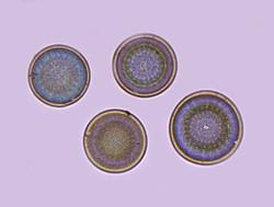 Actinocydus moniliformis Firth 1