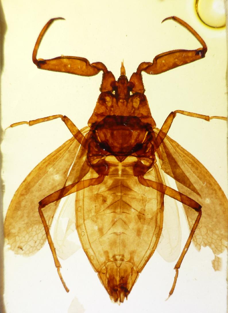 Neville Scorpion Fly